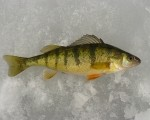 Saginaw Bay Fishing Report 03/06/2014
