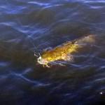 Saginaw Bay Fishing Report  09/18/2014